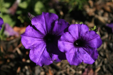 photo of two purple petunias partly shadowed